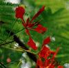 Fleurs_flamboyant_mexique_1