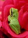 Grenouille_dans_une_rose_1